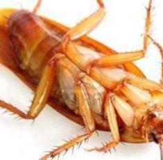 cockroach9