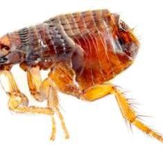 flea2