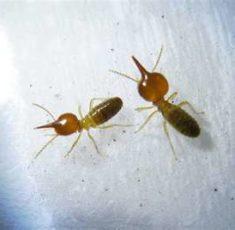 termite7
